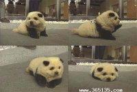 趣闻:成都最有名的国宝级小狗(图)